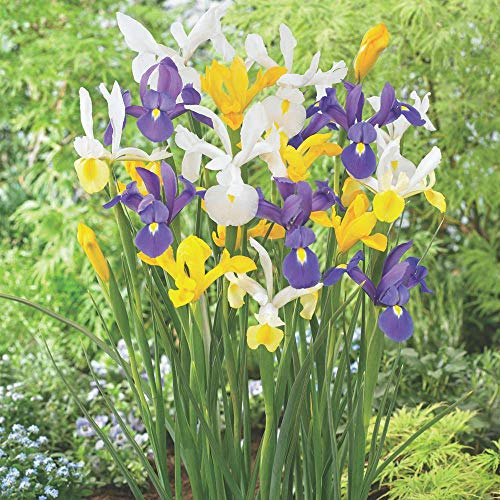 Dutch Iris Mix - 30 Bulbs by Blooming Secrets