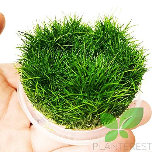 Dwarf Hairgrass Eleocharis Sp Mini Tissue Culture Cup Freshwater Live Aquarium Plants Decoration BUY2GET1FREE