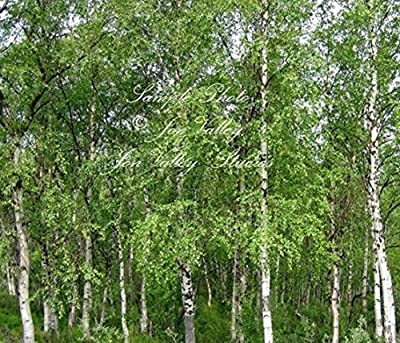 Betula pendula 25 seeds European Birch Weeping Birch White papery bark weeping small branches Pale green yellow fall leaves Winter interest