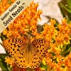 25 Seeds, Butterfly Weed (Asclepias Tuberosa) Seeds By Seed Needs