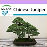 SAFLAX - Bonsai - Chinese Juniper - 30 Seeds - Outdoor Bonsai - Juniperus chinensis