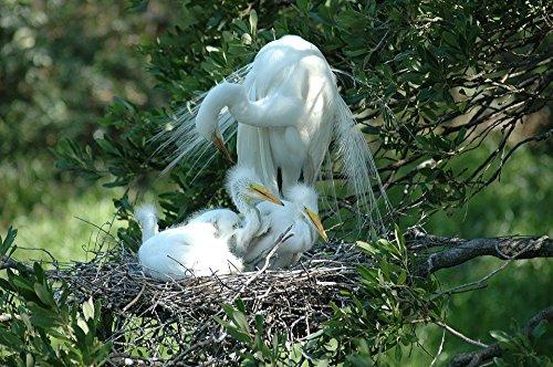 Baby Bird Nesting - Home Comforts Framed Art Your Wall Nesting Bird Beauty Babies Nature White Heron 10x13 Frame