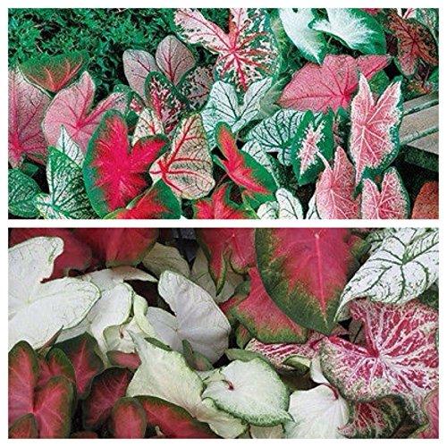 (1-Caladium Bulb Mix Color -Bulb Shady Plant! Soil/Pond Spring Shipping)