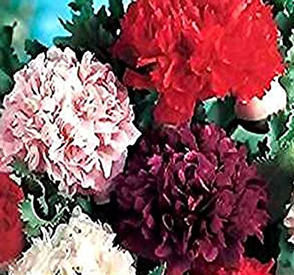 Big pack 100000 poppy peony double mix papaver paeoniflorum big pack 100000 poppy peony double mix papaver paeoniflorum poppy seed mightylinksfo