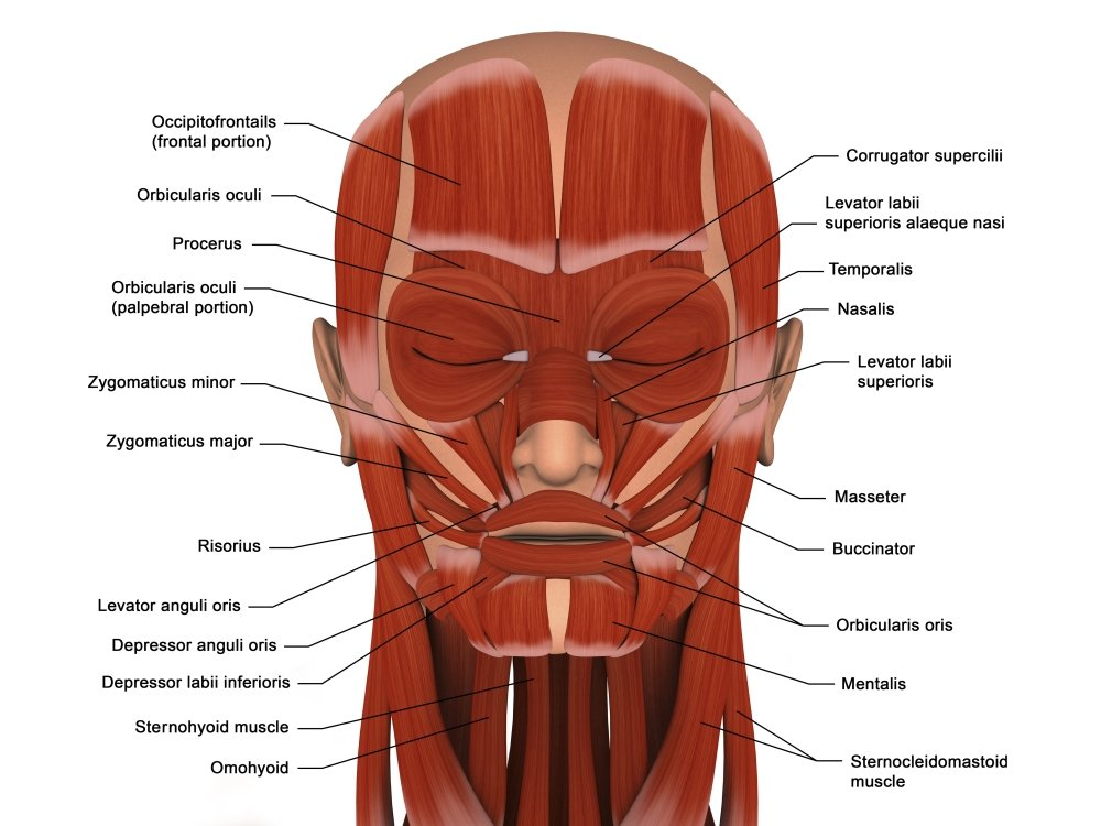 Amazon Facial Muscles Of The Human Head Poster Print 32 X 24