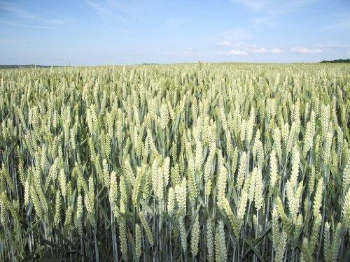 200 ORGANIC OAT Oats Avena Sativa Grain Vegetable Seeds by (Oat Seed)