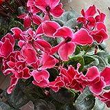 5 Garden Plant Cyclamen Cyciamen Persicum Flower Seeds