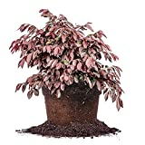 Zhuzhou Loropetalum - Size:  1 Gallon, live plant, includes special blend fertilizer & planting guideDoggy Supply Mall
