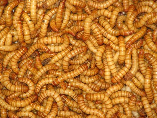 Mealworms Reptile Live Food 60g Tub 20-30mm Reptile Livefoods