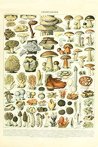 Mushrooms - A - Vintage Bookplate - Adolphe Millot Artwork (9x12 Art Print, Wall Decor Travel Poster) ()