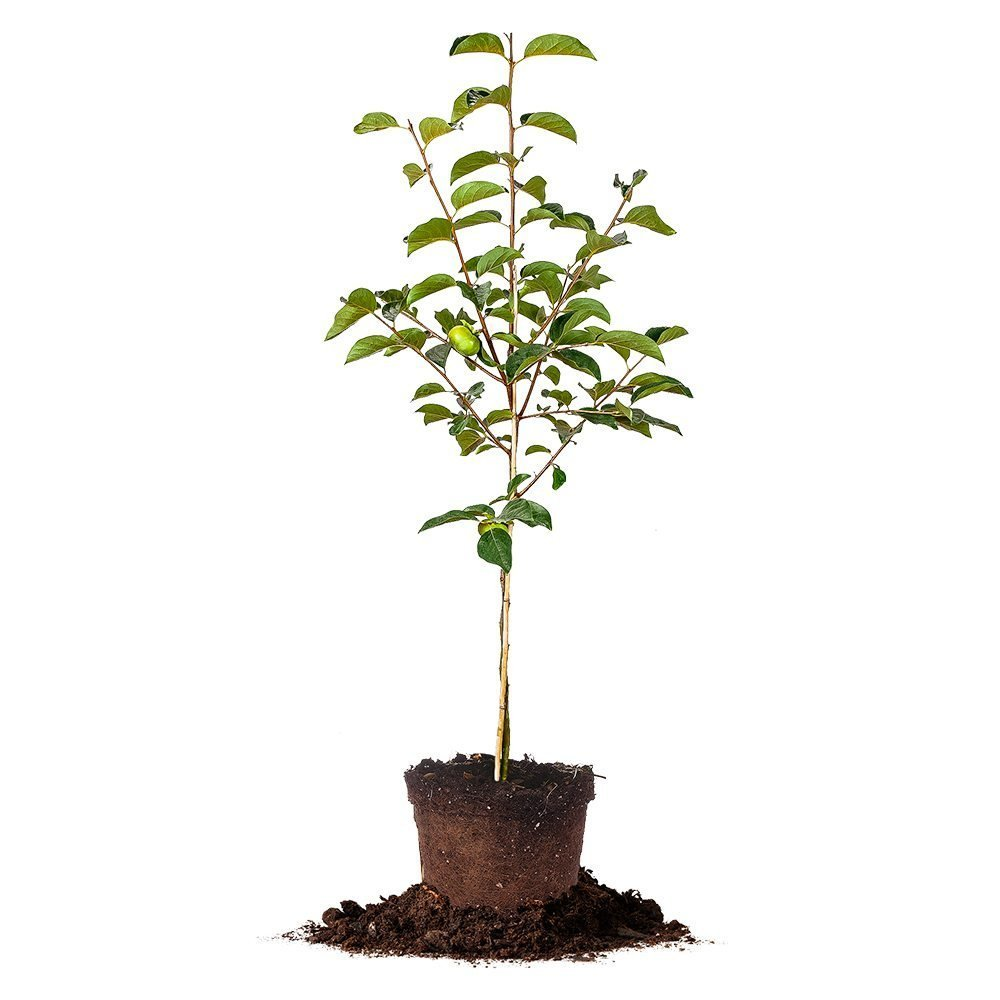 Perfect Plants Fuyu Asian Persimmon Tree, Live Plant (5-6 ft.)
