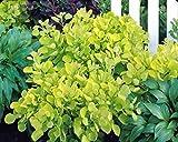 1 Starter Plant of Cotinus Coggygria Golden Spirit PP13082 - Smoke Bush