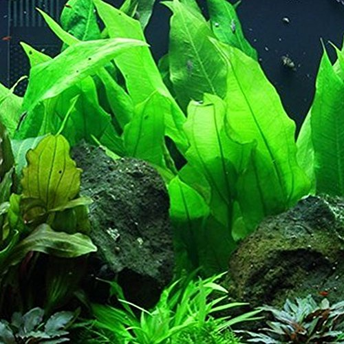 Image of Mainam Amazon Sword Plant Echinodorus Bleheri Tall Bunch Live Aquarium Plants Freshwater Planted Tank Decorations