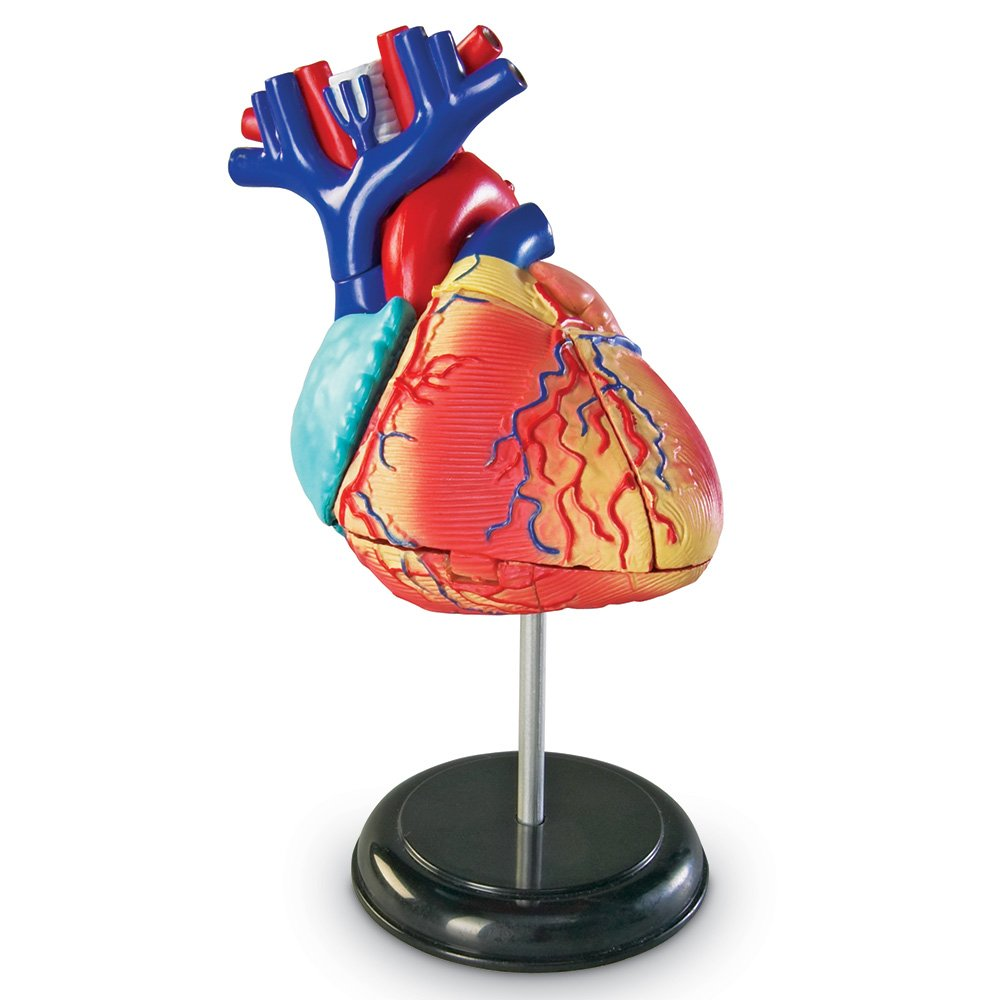 Amazon.com: Learning Resources Heart Model: Toys & Games