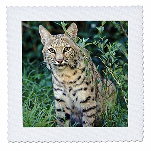 3dRose qs_83596_1 Bobcat Wildlife NA02 AJE0286 Adam Jones Quilt Square, 10 by 10-Inch