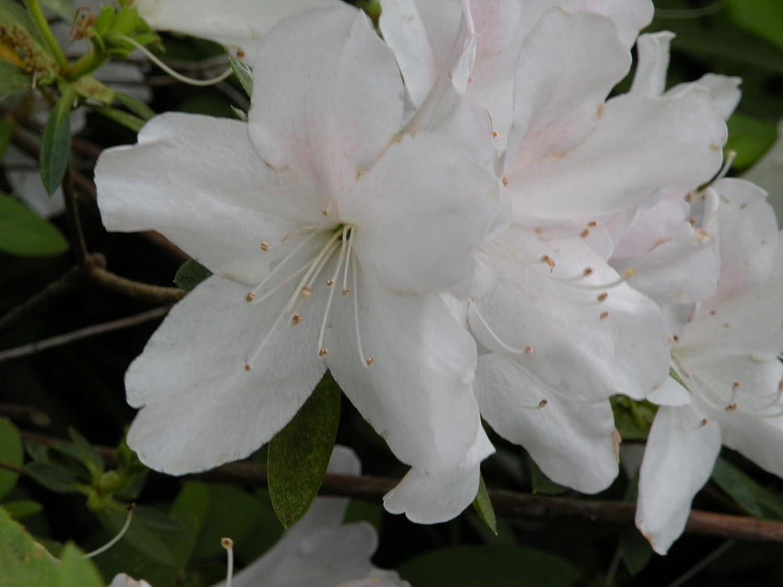 Amazon Azalea Gerbing White 1 Plant 4 Pot