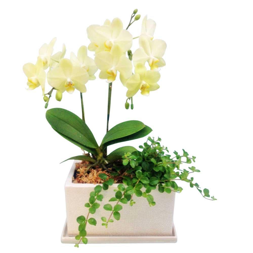 胡蝶蘭 ギフト シルバー舟形鉢 5.5号鉢 3本立 ピンク/ラッピング&メッセージ無料花のプレゼント 生花 (イエロー1 ) B07CPGYN9Z イエロー1  イエロー1
