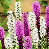 100pcsGayfeather Liatris Spicata seeds Bonsai Plant flower seeds for home garden