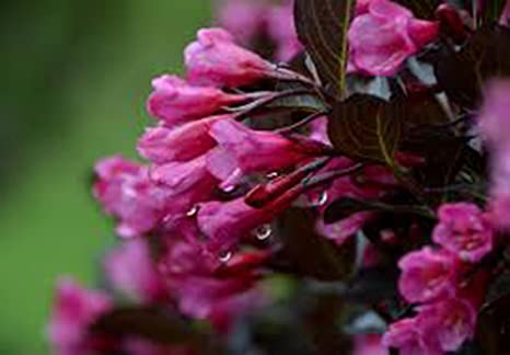 Amazon weigela wine roses florida weigela 2 1 12 yr weigela wine roses florida weigela 2 1 12 mightylinksfo
