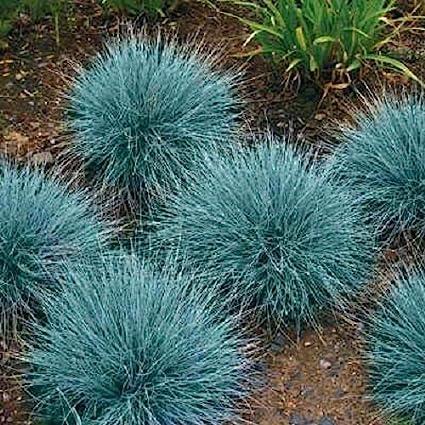 Amazon 50 blue fescue ornamental grass perennial festuca 50 blue fescue ornamental grass perennial festuca drought tolerant sun or shade workwithnaturefo