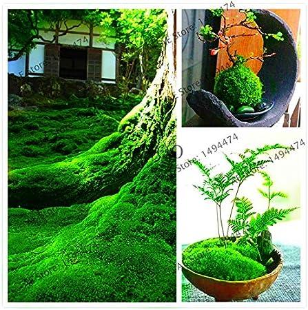 Amazon Com 100pcs Green Moss Seeds Rare Exotic Bonsai Moss Seeds