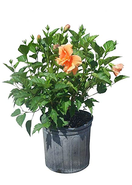 Amazoncom Plantvine Hibiscus Rosa Sinensis Double Peach