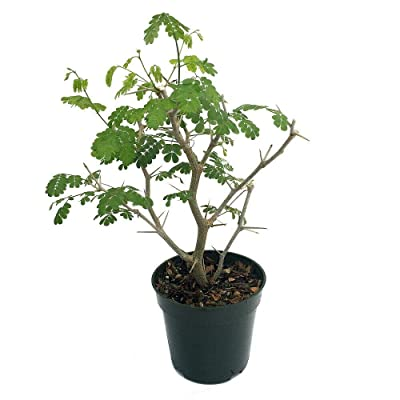 "AchmadAnam - 4"" Pot - Brazilian Rain Tree - Pithecellobium - Living Weatherman/Easy to Grow : Garden & Outdoor"