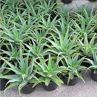 Artistic Solutions Baby Aloe x Spinosissima Small Plant, AKA Dwarf Aloe Arborescens Bare rooted : Garden & Outdoor