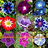 Rare Flower Morning Glory Mix Seeds, 50 Seeds, Heirloom Bonsai Big Petunia Beautiful Garden Flowers-Land Miracle
