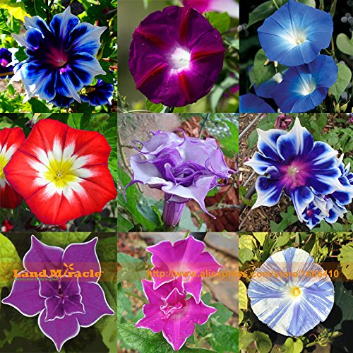 Rare Flower Morning Glory Mix Seeds, 50 Seeds, Heirloom Bonsai Big Petunia Beautiful Garden Flowers-Land Miracle ()