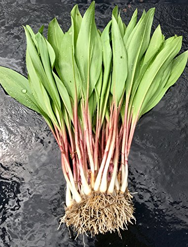 40 FRESH Wild Ramps / Leeks for cooking or replanting by The Wild Leek (Image #7)