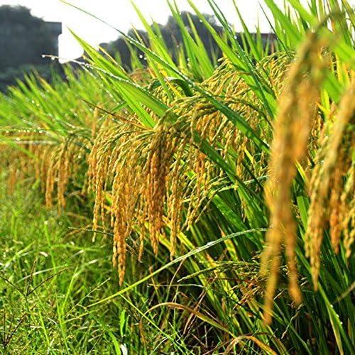 100 semillas / pack semillas de arroz de alta calidad: Amazon.es: Jardín