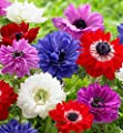 Double Mix Color Anemone St. Brigid Mix - 20 Big Bulbs - 7/8 cm - GREAT Cut Flowers & Attractive to Butterflies!