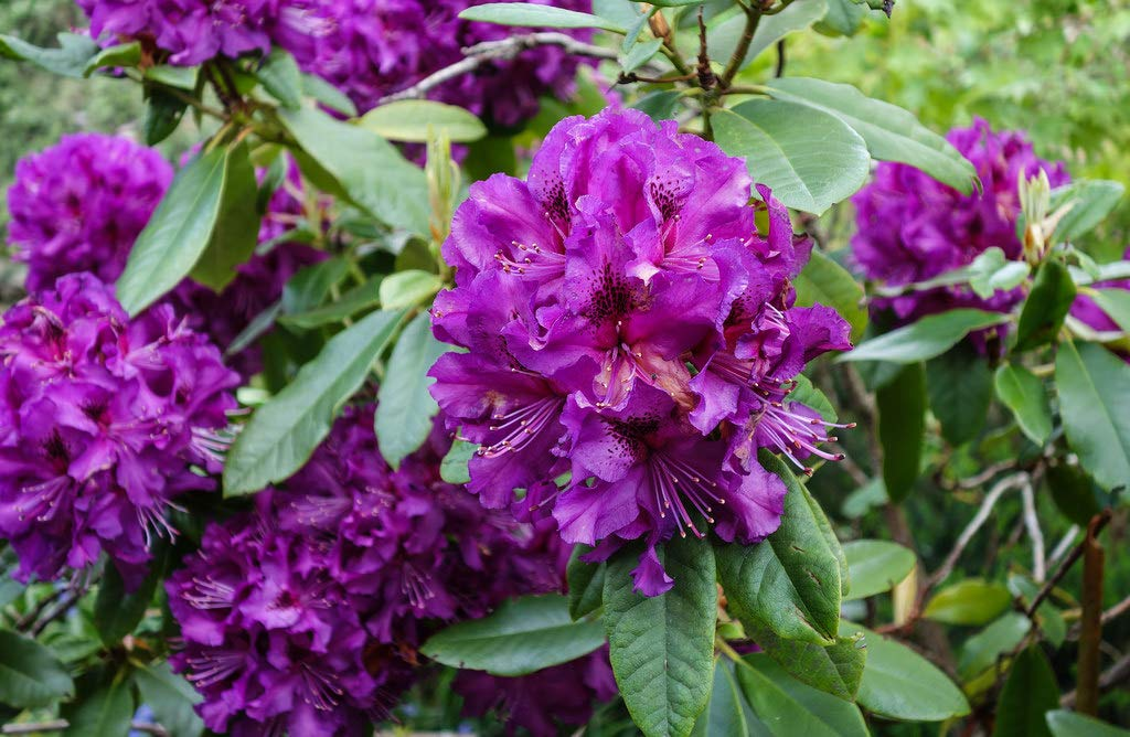 Rhododendron Colonel Coen- Deep Purple Bloom - Grows Five Feet Tall - Three Gallon Plant-12'' to 15'' Wide Plant - Typically Three Gallon