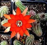 ECHINOPSIS CHAMAECEREUS 'Peanut Cactus' - 2 INCH Cactus Plant