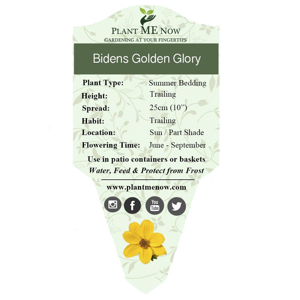 6 Patio Plug Plants Bidens Golden Glory