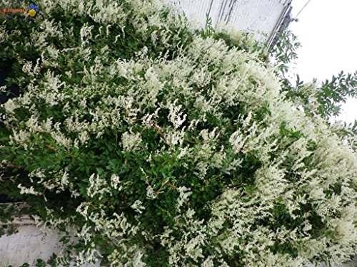 SILVER LACE VINE Polygonum Aubertii 20+ SEEDS (Silver Plant Lace)