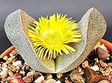 Pleiospilos Bolusii rare succulent mesembs rock living stones rock seed 20 SEEDS