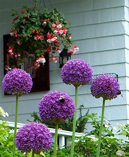 2 GIGANTEUM ALLIUM BULBS - Size 20+cm - FALL SHIPPING & (Planting Allium Bulbs)