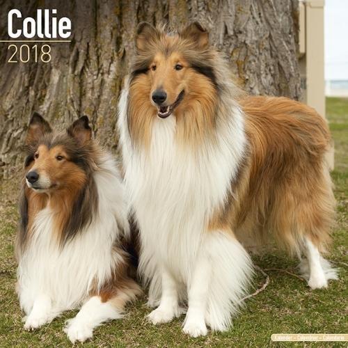 Collie Calendar Breed Calendars Avonside product image
