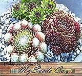 BIG PACK - (1,000) Hen & Chicks Cactus Mixed Seeds - Sempervivum - HARDY PERENNIAL - GORGEOUS House Leeks Seed - FRESH SEEDS - By MySeeds.Co (Big Pack - Hen&Chicks)