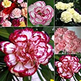 50pcs Carnation Seed Potted Plant Flower Seeds Four Seasons Easy To plant Perennial