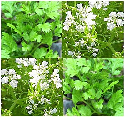 150 CHERVIL HERB SEEDS ~A.cerefolium~ ~ FRENCH GOURMET'S PARSLEY Vertissimo