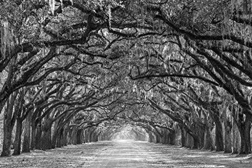 (Savannah, Georgia Live Oak Trees Black & White Unframed Vinyl Art Print - Perfect for indoors / outdoors. All-weather.)