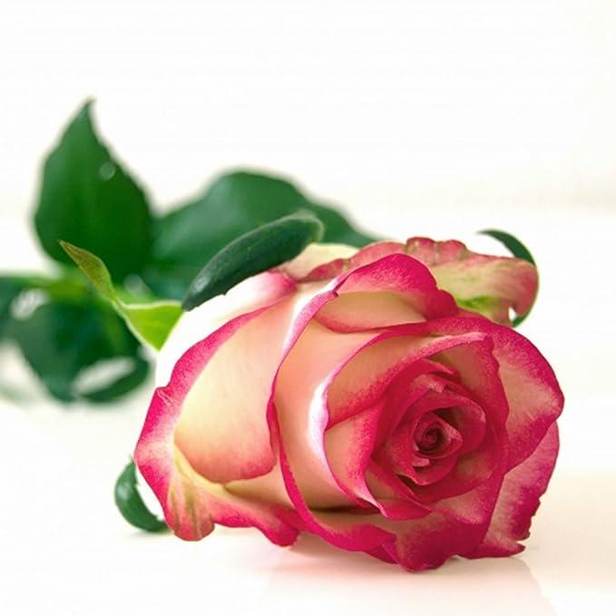 500 PCS Multi-color Rare Rainbow Rose Flower Seeds Garden Plants Valentine Hot //