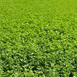 Non-GMO Alfalfa Seeds - 50 Lbs - High Germination, Conventional Seed - Gardening, Cover Crop, Field Growing, Food Storage & More