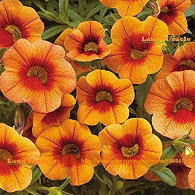 Apricot Punch Calibrachoa Organic Petunia Seed, 200 Seed/Pack, Big Blooms Bonsai Flower Seed-Land Miracle : Garden & Outdoor