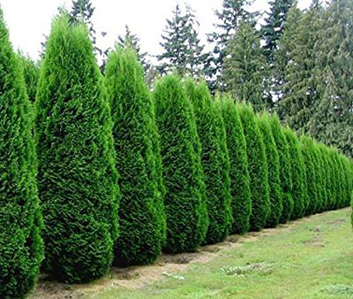 emerald-green-arborvitae-tree-thuja-quart-pot