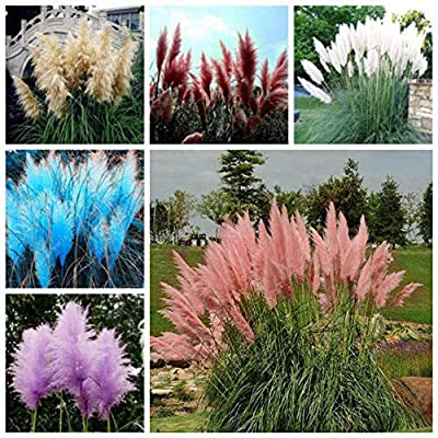 everd1487HH 100Pcs Pampas Grass Plant Seeds BonsaiOffice Home Garden Bonsai Yard Ornamental Plant Desk Table Decoration- Pampas Grass Seed : Garden & Outdoor