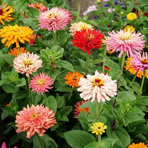 American Cut Pinwheel (David's Garden Seeds Flower Zinnia Cactus Flowered Mix D3651 (Multi) 500 Open Pollinated Seeds)